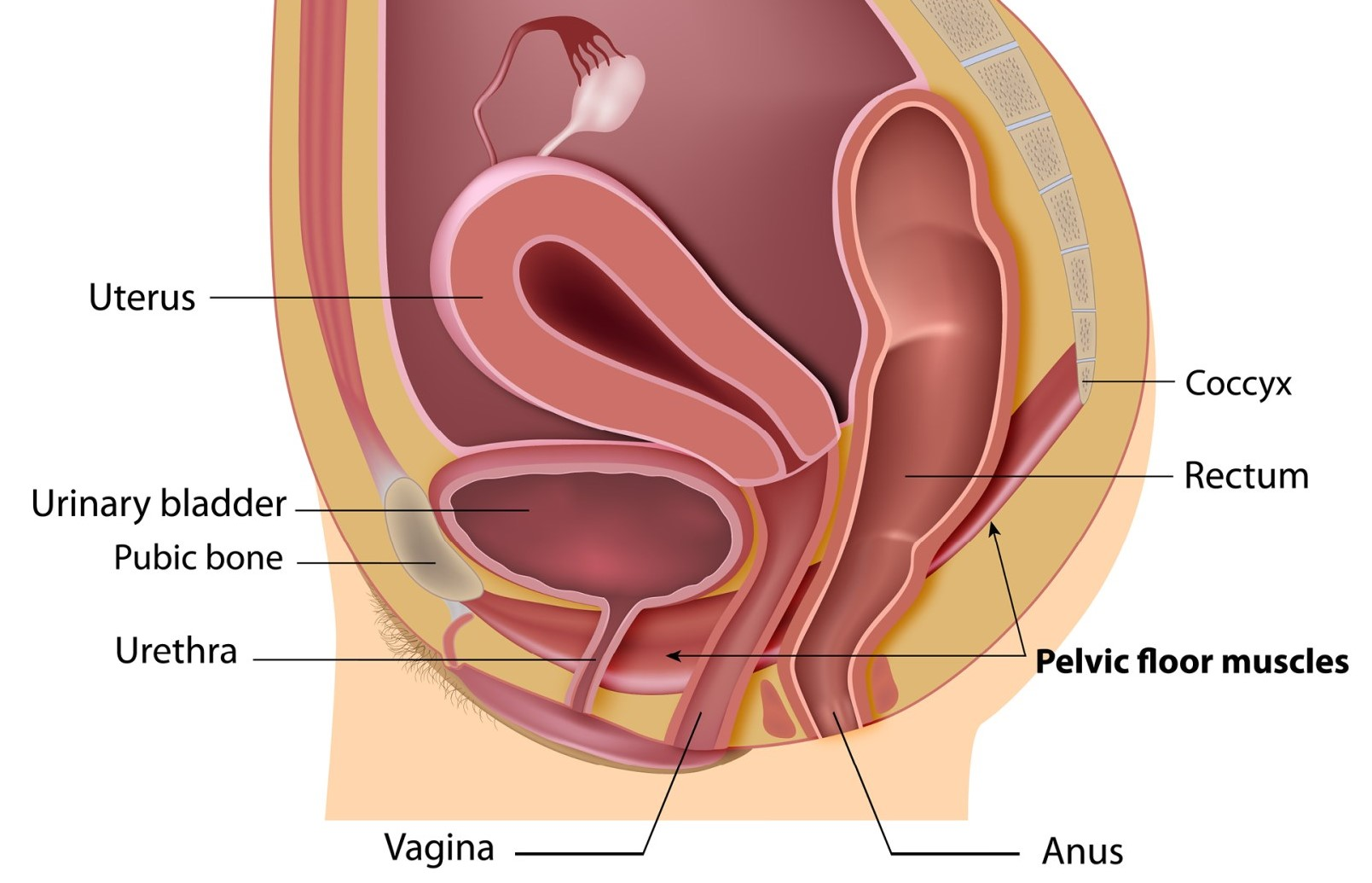 Incontinence Pelvic Floor Dysfunction And Prolapse